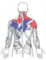 عضلات نگهدارنده طناب نخاعی در ناحیه شانه، کتف و تنه
